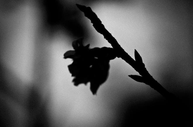 20130201_0109_Blossom_Adelaide Lin_01